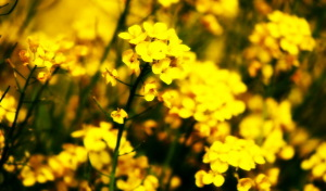 mustard-plant